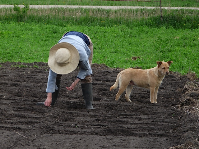 Planting with canine supervision!