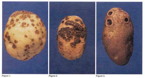 Potato scab lesions. Photo from Cornell University - Vegetable MD on-line.