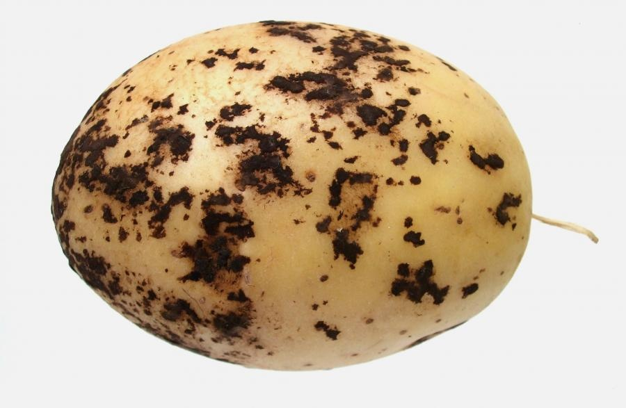 Black scurf on a potato, caused by the soil-dwelling bacteria, Rhizoctonia solani. Picture from: www.potato.org.uk