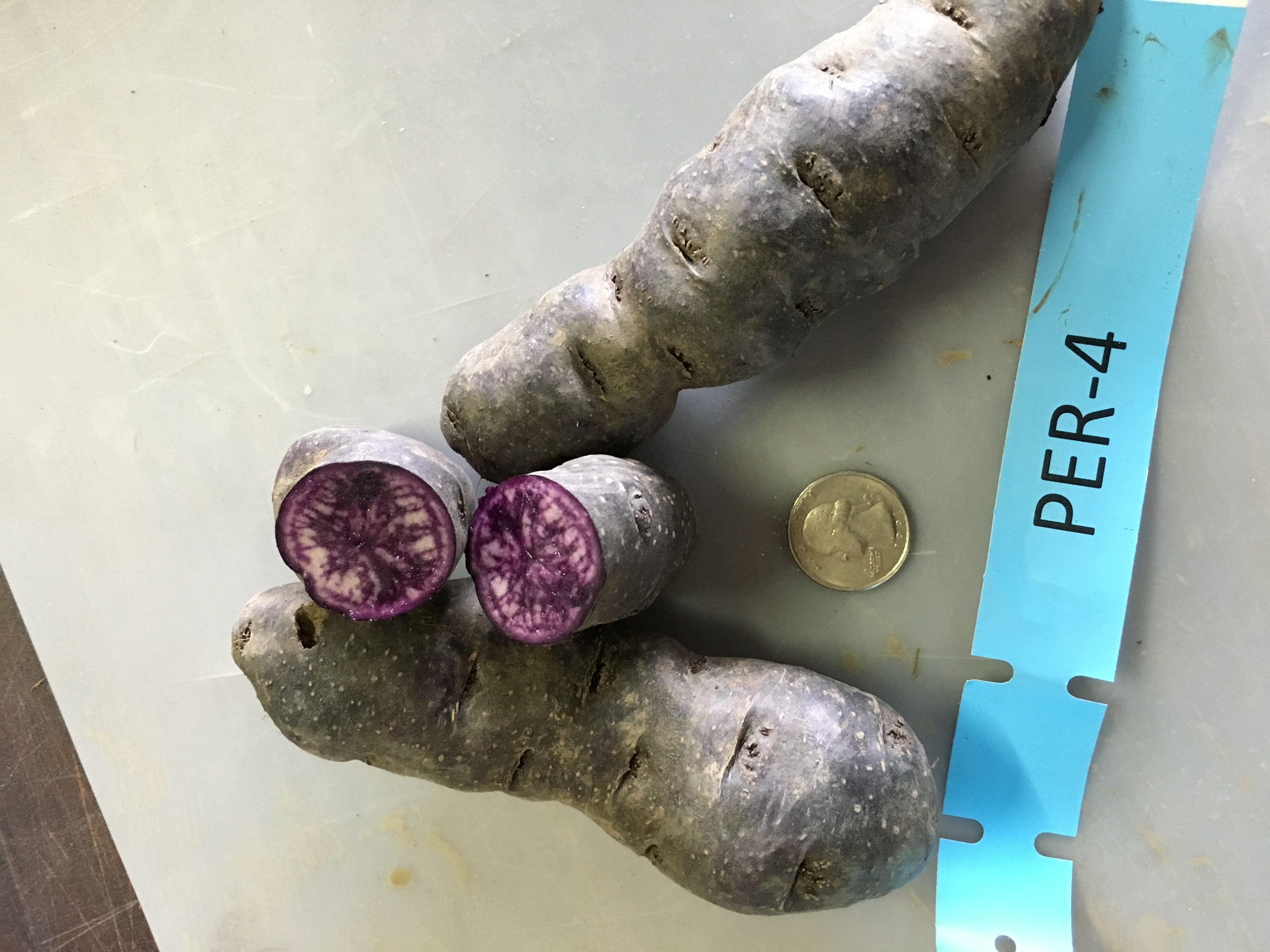 Peruvian blue potato varieties. Both Barbara and Peruvian blue varieties, sparked interest from Growers, though average yields are a concern. Photo by Ruth Genger